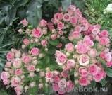 Роза лавли лидия (lovely lydia)