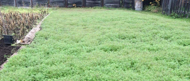 Люпин как сидерат: когда сеять? выращивание