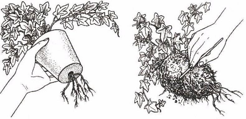 Хедера хеликс микс или плющ обыкновенный — уход в домашних условиях