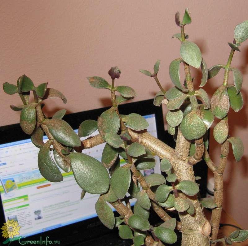 Мягкие листья у денежного дерева: что делать, если они стали вялыми и сморщились, почему это происходит с толстянкой, в том числе зимой, и причины, уход за крассулой