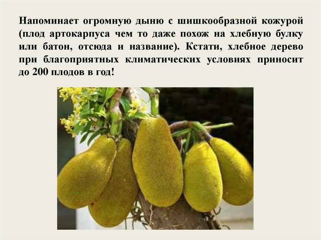 Что называют хлебным деревом