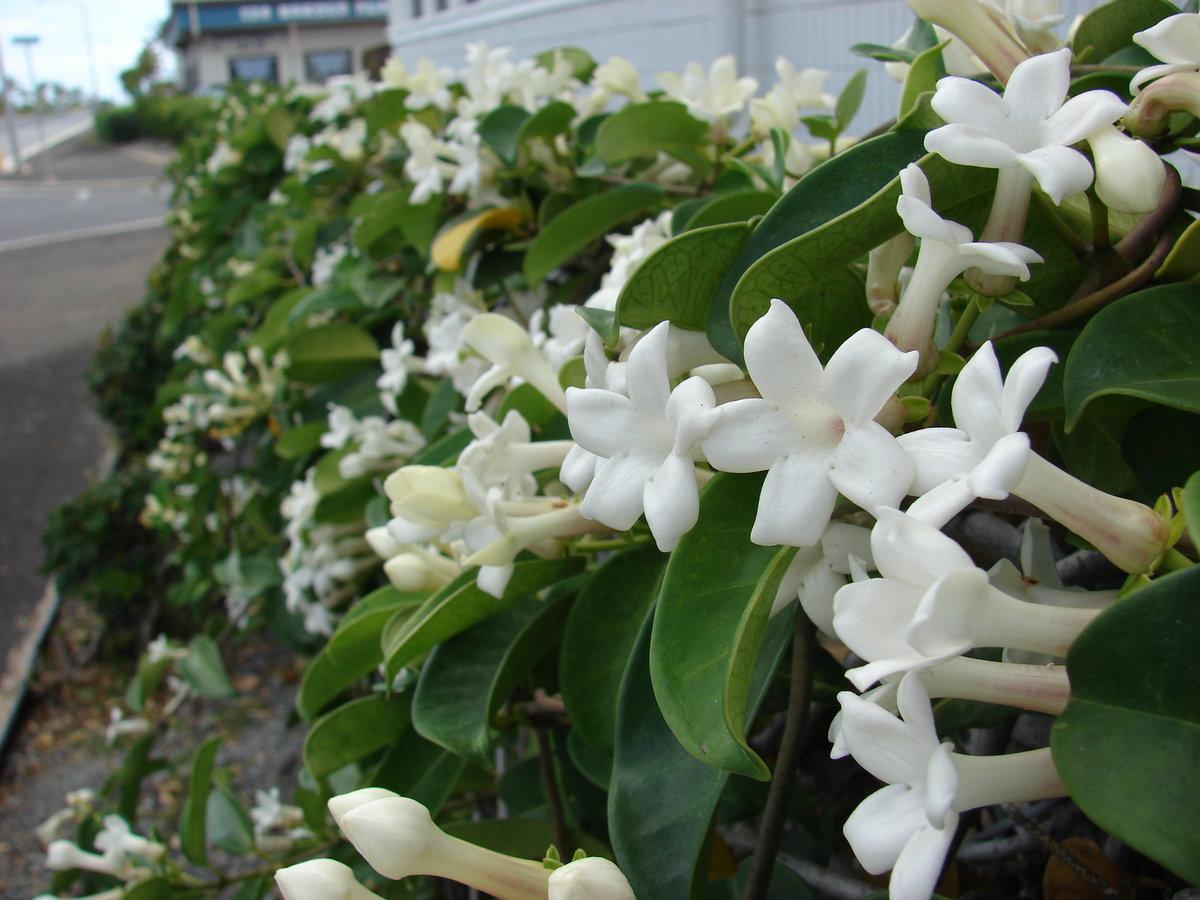 Цветок стефанотис – уход в домашних условиях, фото и размножение