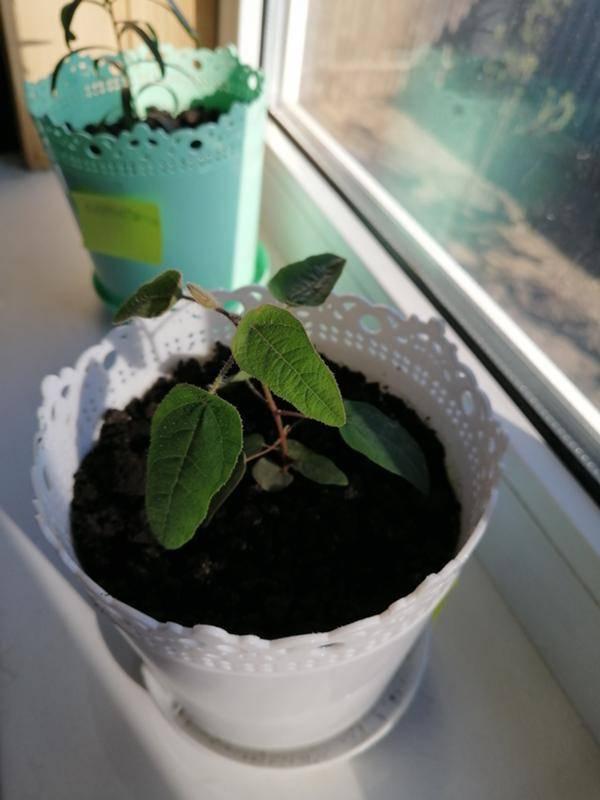 Эвкалипт комнатный - выращивание, описание, виды, сорта с фото и размножение