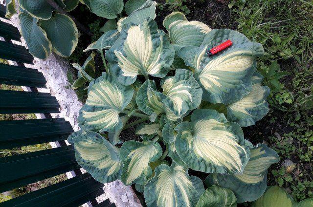 Красивые садовые цветы: хоста (посадка и уход, размножение). виды и сорта хосты