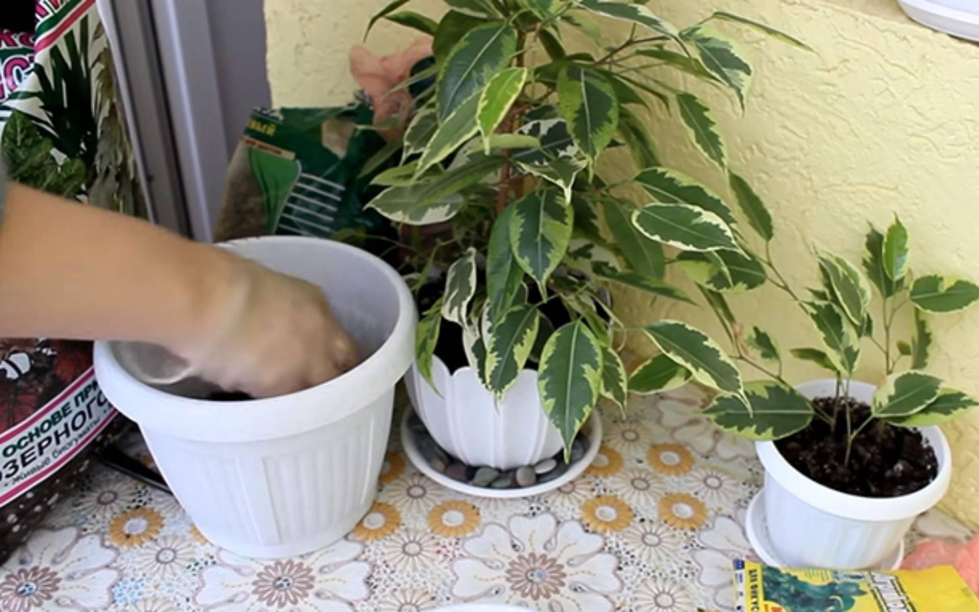 Пересадка фикуса в домашних условиях в новый горшок: как и когда делать