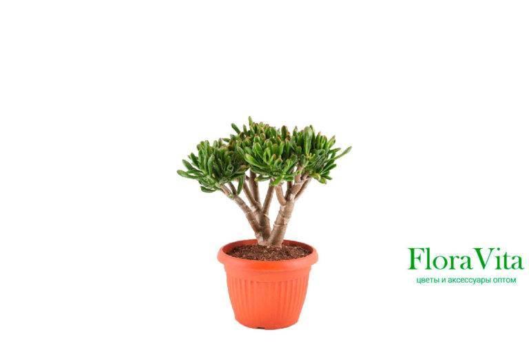 Крассула «хоббит» (32 фото): уход за сортом в домашних условиях, особенности размножения цветка листом