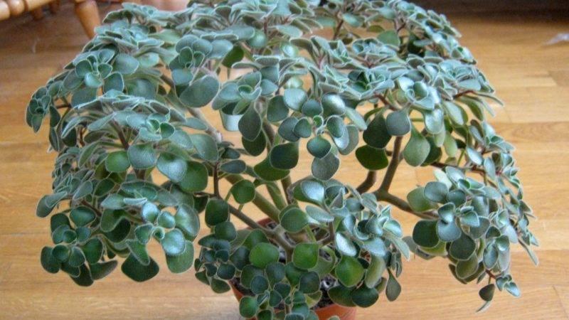 Аихризон – дерево любви со множеством примет