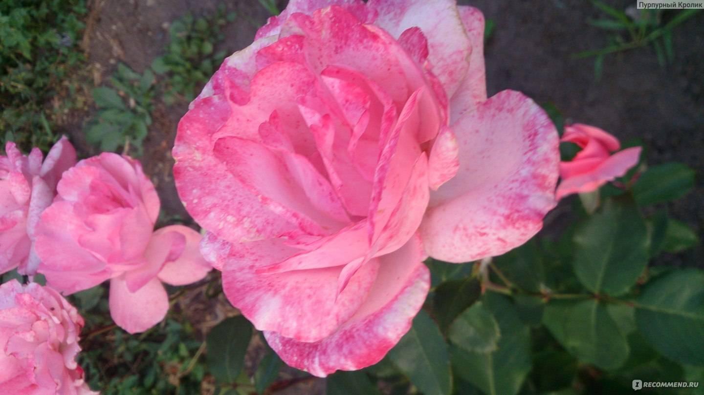 Розы флорибунда: выращивание в открытом грунте