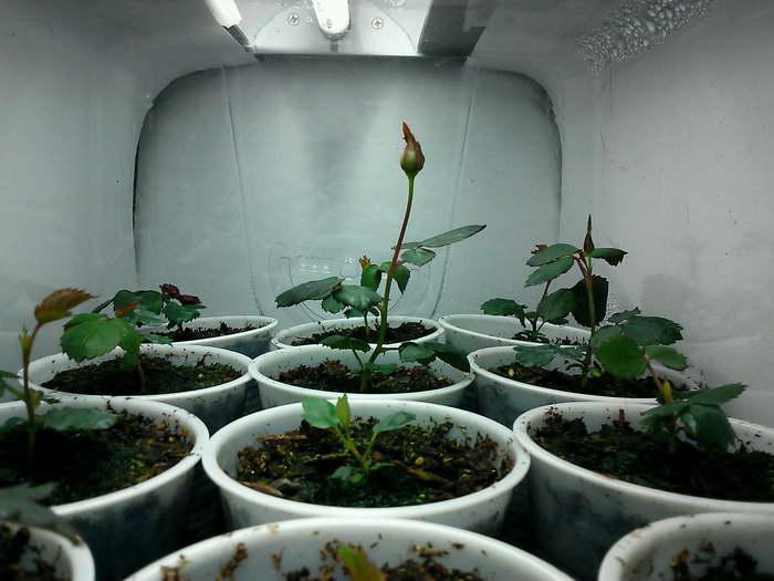 Как размножить китайскую розу в домашних условиях: пошаговая инструкция, как сделать это черенками, семенами и иными методами, а еще советы по уходу за новым цветком