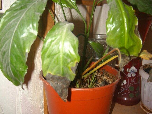 """Болезни бальзамина: их лечение и фото, почему завял """"ванька мокрый"""" и у него опадают цветы, что нужно делать, если он погибает, а также уход за комнатным растением"""