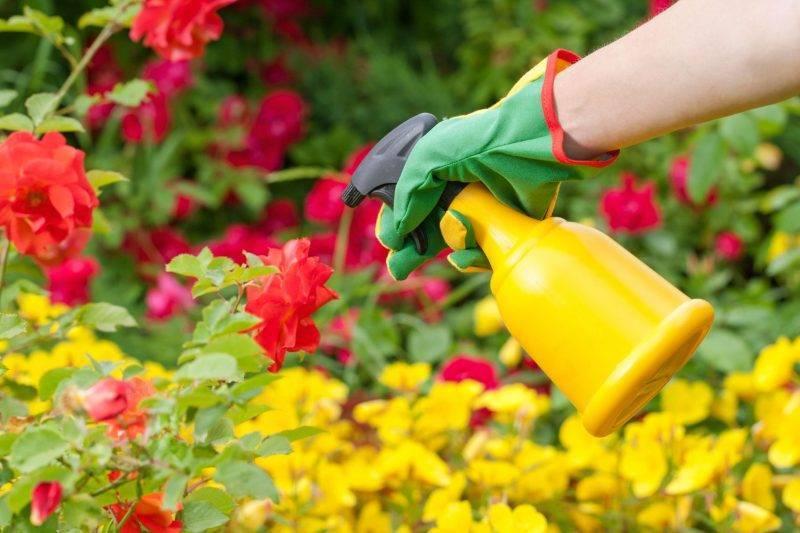 Весенняя подкормка роз для шикарного цветения
