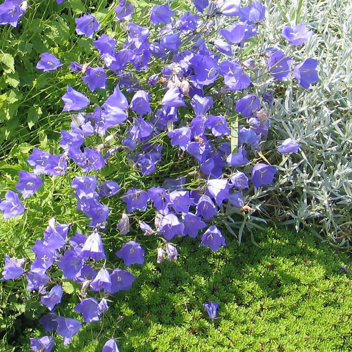 Колокольчик карпатский — выращивание и посадка семенами