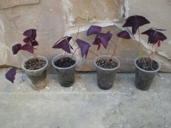 Кислица комнатная (32 фото): уход за оксалисом в домашних условиях. как пересадить цветок зимой? способы размножения растения