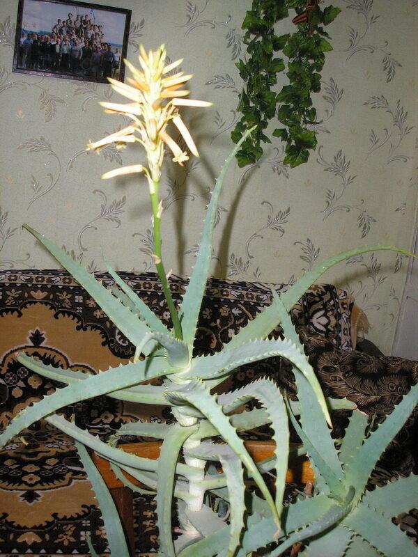Цветет ли алоэ вера в домашних условиях: когда это возможно и как подготовить растение к данному периоду?