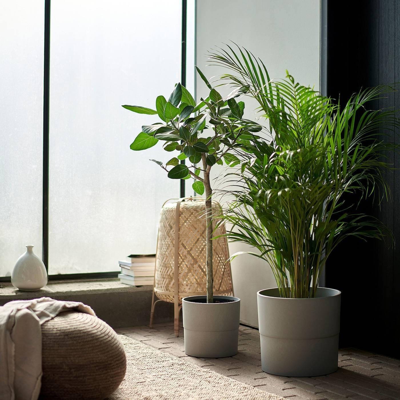 Самые благоприятные комнатные растения: приносят удачу и благополучие в семью.