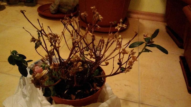 Почему азалия сбрасывает листья и что делать в домашних условиях