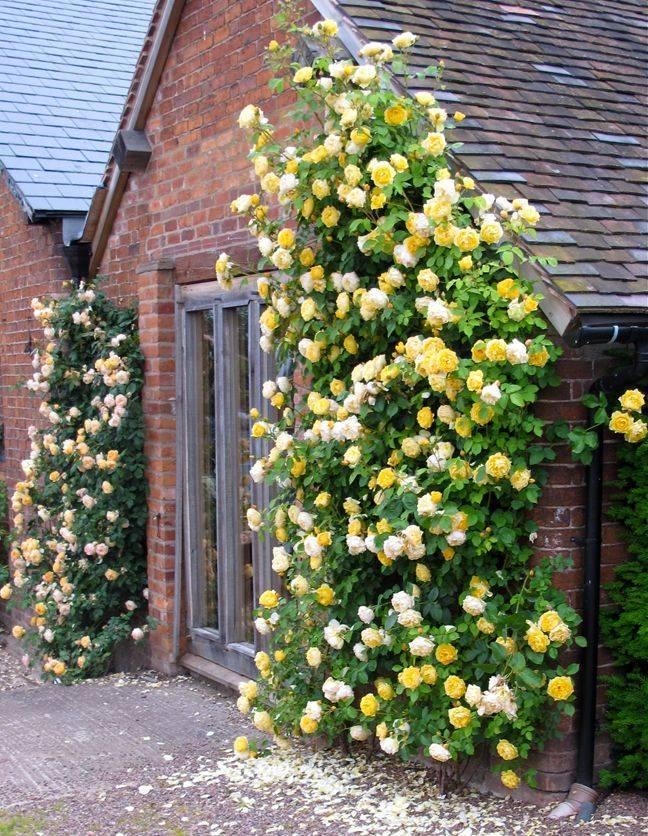 Описание розы сорта кордана: как ухаживать в домашних условиях и открытом грунте