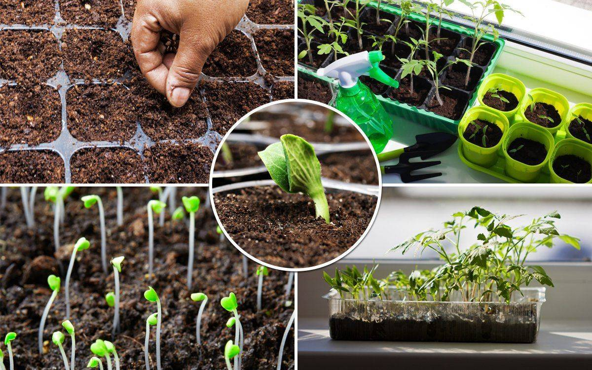 Кларкия изящная: выращивание из семян