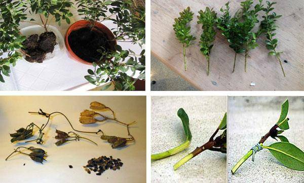 Пересадка азалии: как правильно пересаживать цветок после покупки и цветения