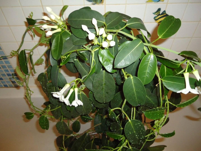 Комнатные цветы стефанотис