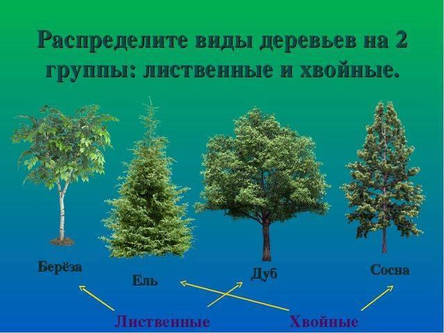 Виды деревьев средней полосы: список хвойных и лиственных деревьев