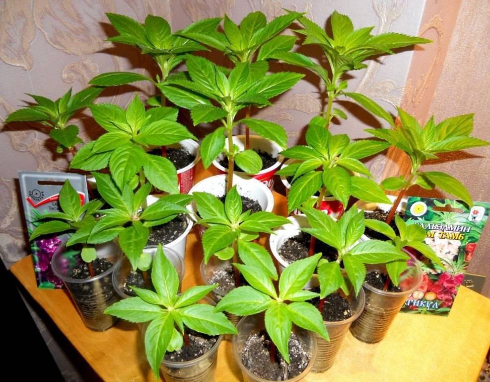 Бальзамин: выращивание из семян в домашних условиях