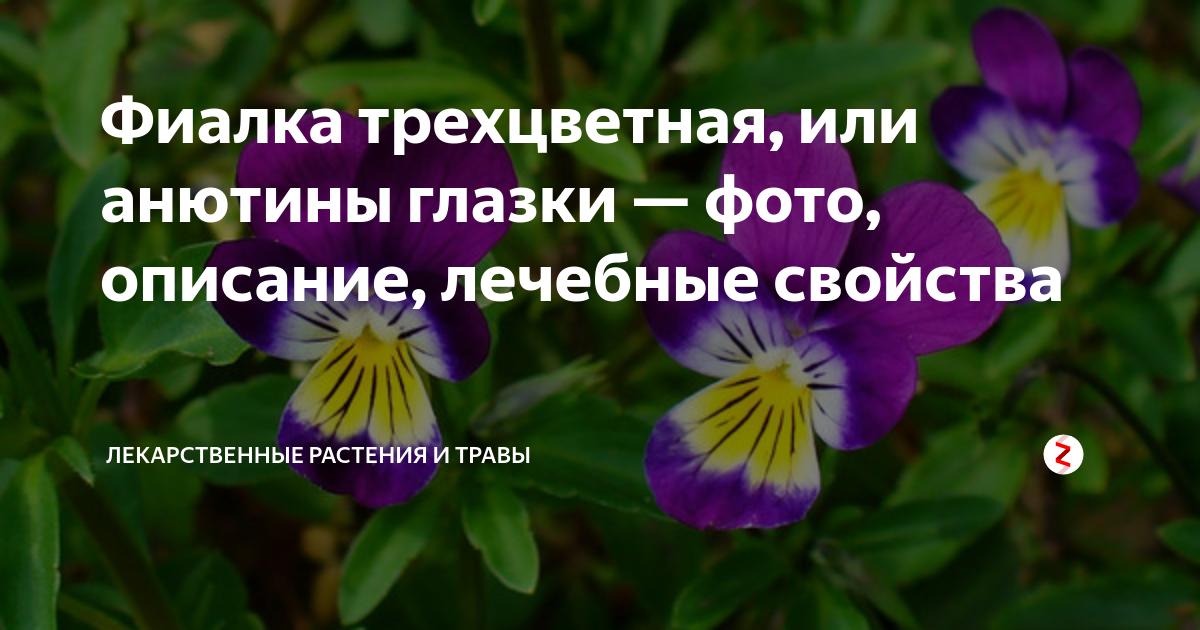 Всё о том как выглядят фиалки: виды комнатного растения, какого цвета бывают