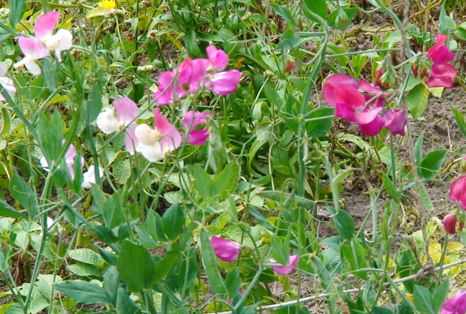 Душистый горошек: выращивание из семян