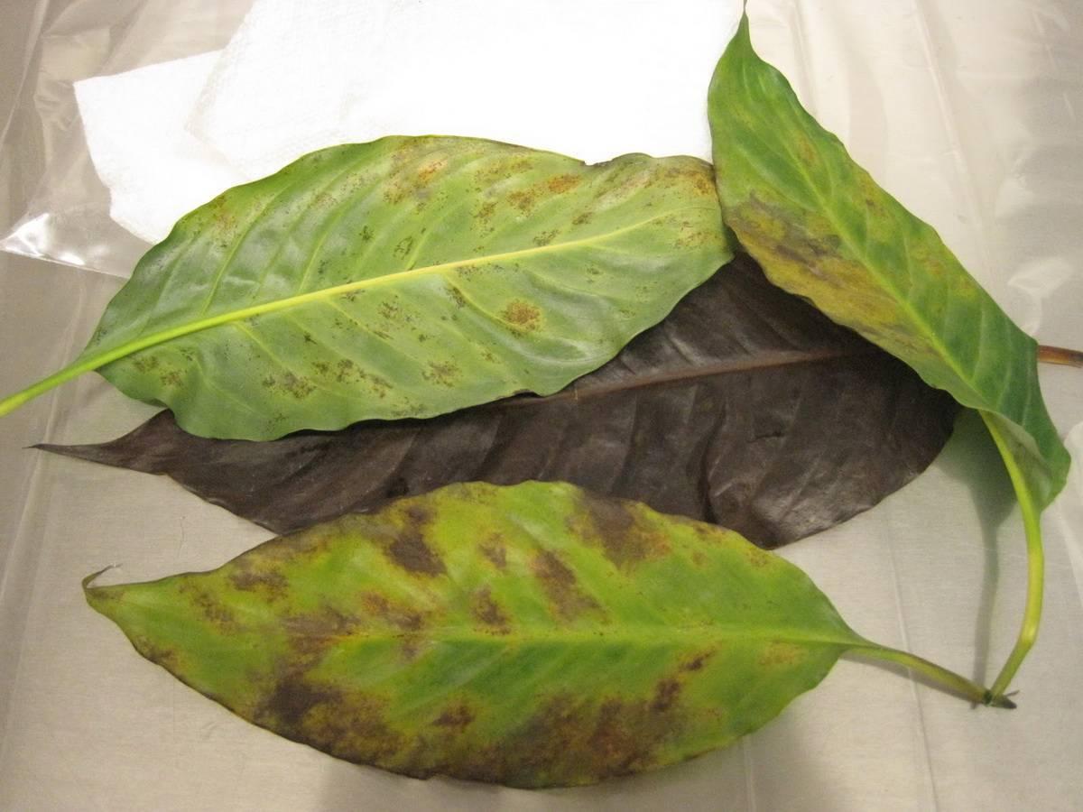 Болезни кротона: сохнут, опадают и опустились листья - методы лечения