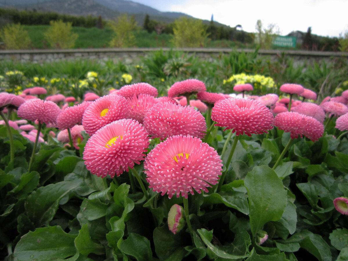 картинки с садовыми цветами и названиями картофеля можно