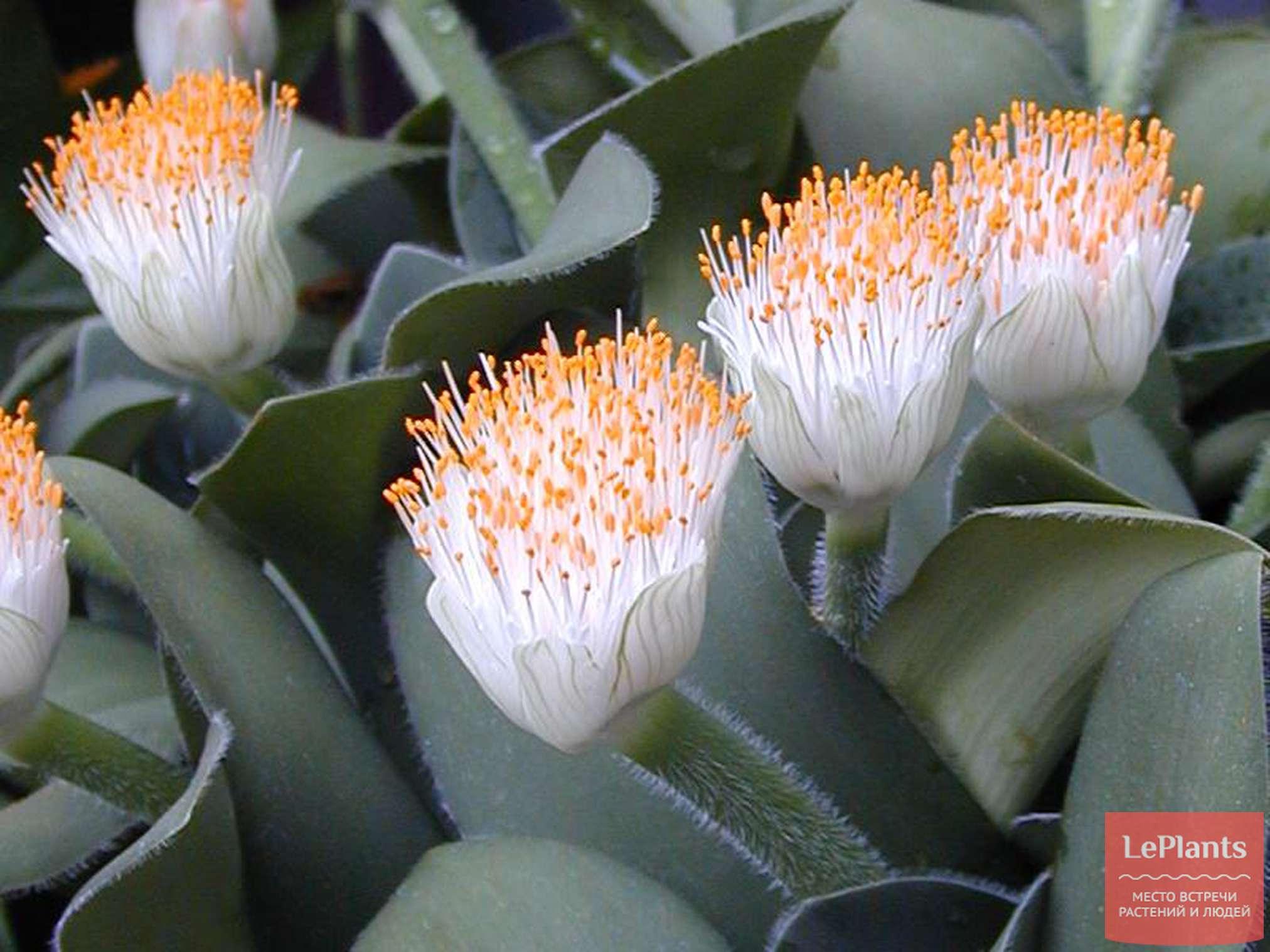 Гемантус уход в домашних условиях, фото, советы к выращиванию | фатера