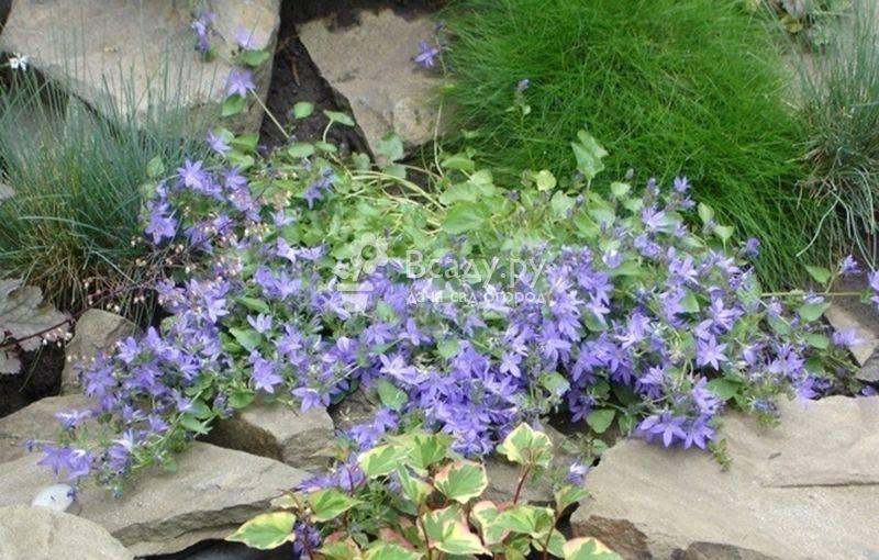 Комнатная кампанула или «цветок семейного счастья»: сажаем и выращиваем колокольчики своими руками
