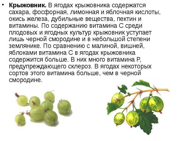 Клюква: описание растения, клюква садовая, лесная, значение в природе и лесу