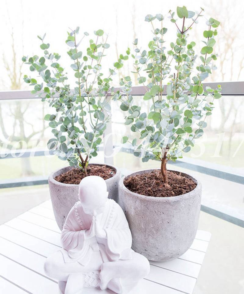 Как вырастить мяту в домашних условиях на подоконнике