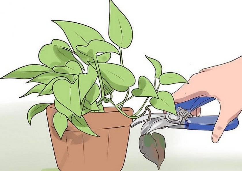 Пеперомия (58 фото): уход за комнатным цветком в домашних условиях, размножение растения листом и черенками, болезни пеперомии