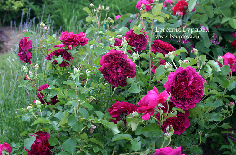 Роза вильям шекспир: фото и описание