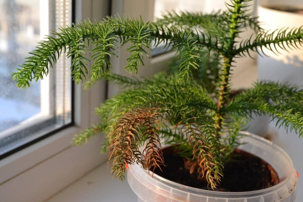 Зелёная и пышная араукария: виды и нюансы выращивания в домашних условиях