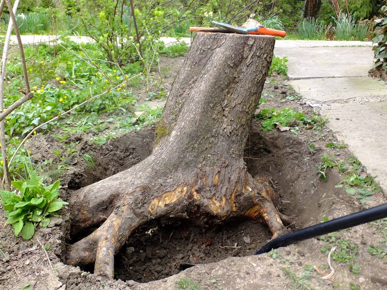Как выкорчевать дерево, срок жизни деревьев и как убрать деревья с участка