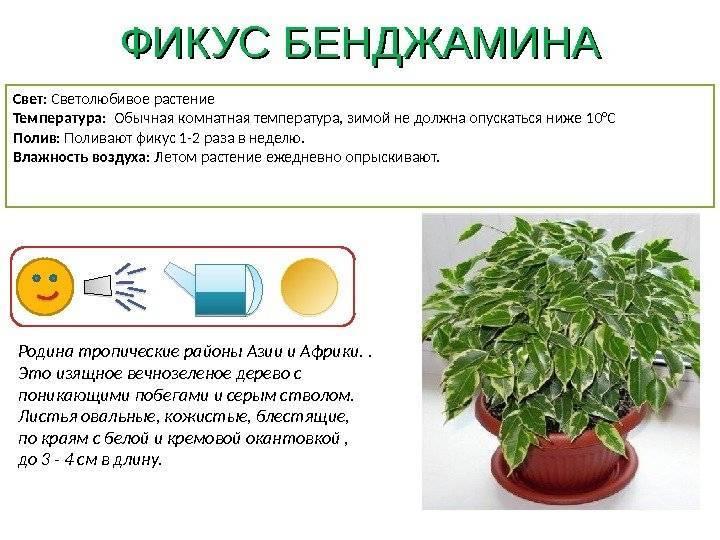 Секреты ухода в домашних условиях за вечнозеленым растением «мирт коммунис»