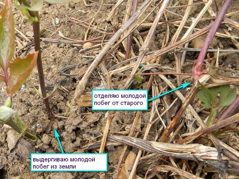 Размножение клематисов: черенками, отводками, делением куста