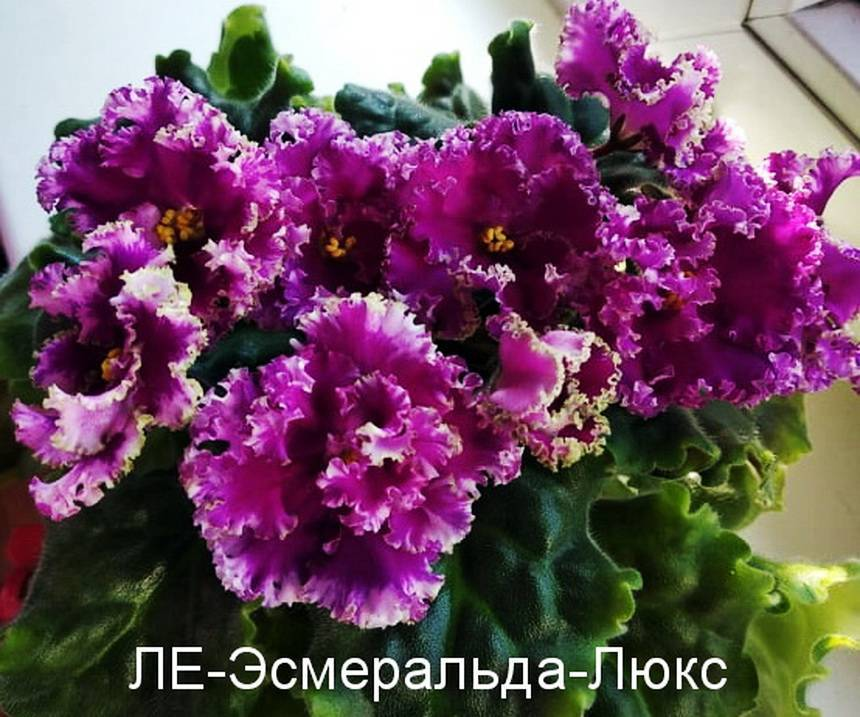 Пеларгония lake — характеристики сорта и выращивание