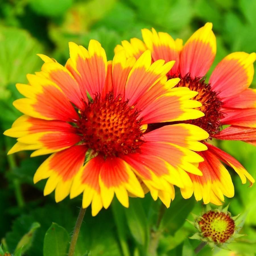 Гайлардия многолетняя: фото видов и сортов, размножение цветка