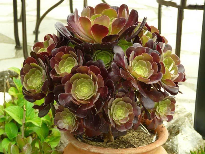 Как ухаживать за цветком эхмея в домашних условиях, эхмея полосатая и др. виды
