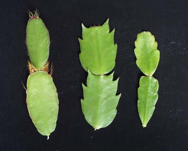 Размножение алоэ в домашних условиях: листом, черенкованием и другие варианты