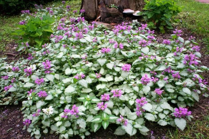 О видах растения яснотка: пурпурная. желтая, пестролистная, розовая, серебристая