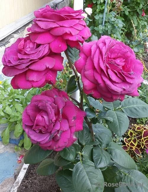 Роза чг биг перпл - описание, агротехнические особенности | о розе