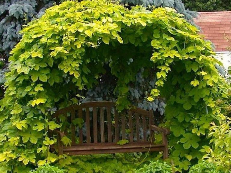 Садовый плющ – вечнозеленое растение. правила посадки и ухода, размножение культуры