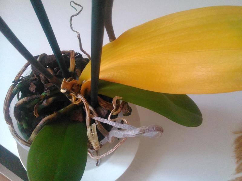 У орхидеи вянут листья, причины, и что делать для восстановление тургора