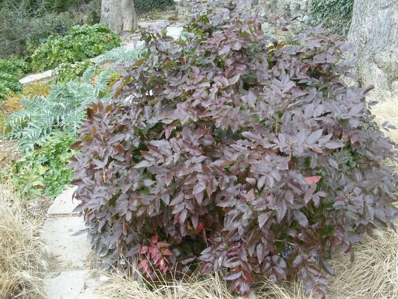 Растение магония падуболистная в ландшафтном дизайне