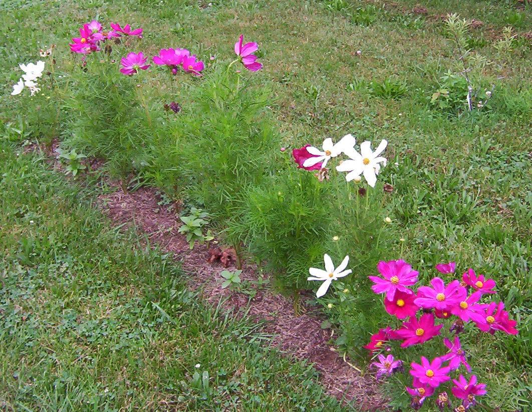 Космея - посадка и уход в саду